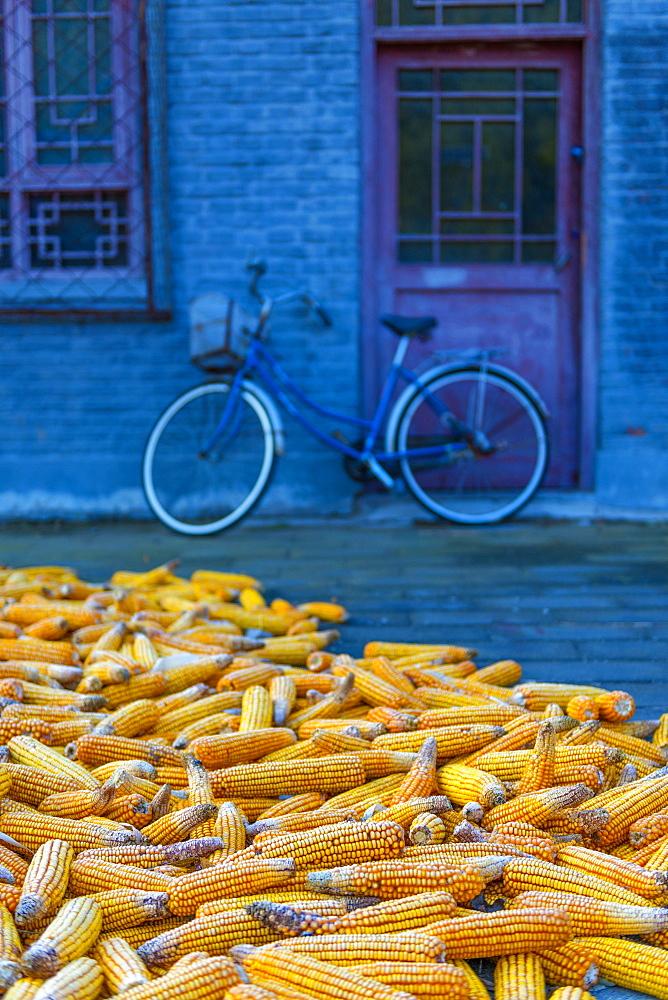 Maize (corn) drying, Gubeikou, Miyun County, Beijing Municipality, China, Asia