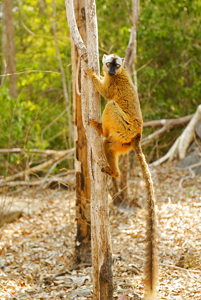 Female red-fronted brown lemur (Eulemur fulvus rufus) in the Tsingy De Bemaraha National Park, UNESCO World Heritage Site, western Madagascar, Madagascar, Africa