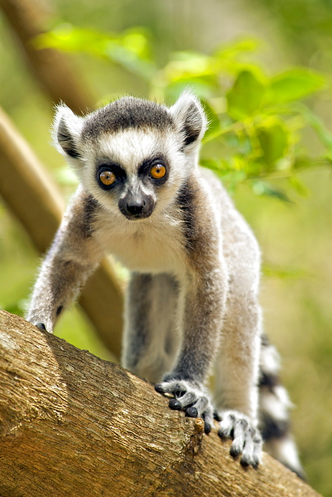 Baby ring-tailed lemur (lemur catta) in the Anja private community reserve near Ambalavao in southern Madagascar, Madagascar, Africa