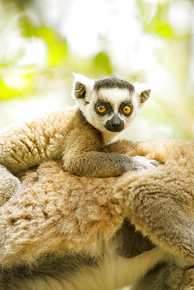 Close-up of a baby ring-tailed lemur (lemur catta) on its mother's back in the Anja private community reserve near Ambalavao in southern Madagascar, Madagascar, Africa