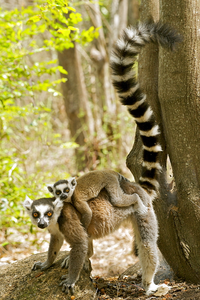 Ring-tailed lemur (lemur catta) with a baby on her back in the Anja private community reserve near Ambalavao in southern Madagascar, Madagascar, Africa