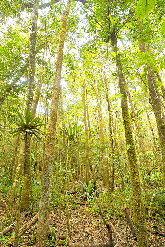 Primary rainforest in the Andasibe-Mantadia National Park in eastern Madagascar, Madagascar, Africa