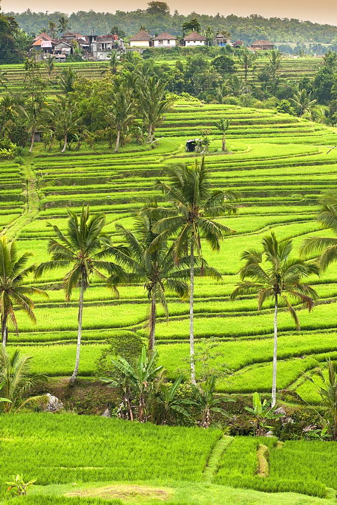 Jatiluwih rice terrace paddies in Bali, Indonesia. - 829-2126