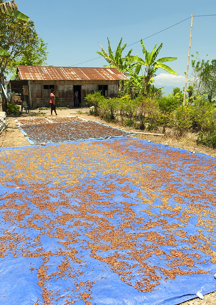 Cloves drying outdoors near the town of Ende on the island of Flores, Indonesia.