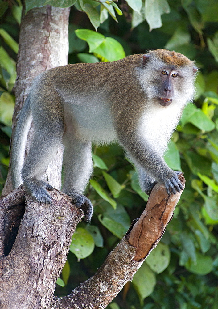 Long-tailed macaque in Penang National Park in Penang, Malaysia.