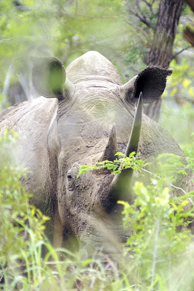 A white rhinoceros (ceratotherium simum) in the dense bush of South Africa's Hluhluwe/Umfolozi National Park.