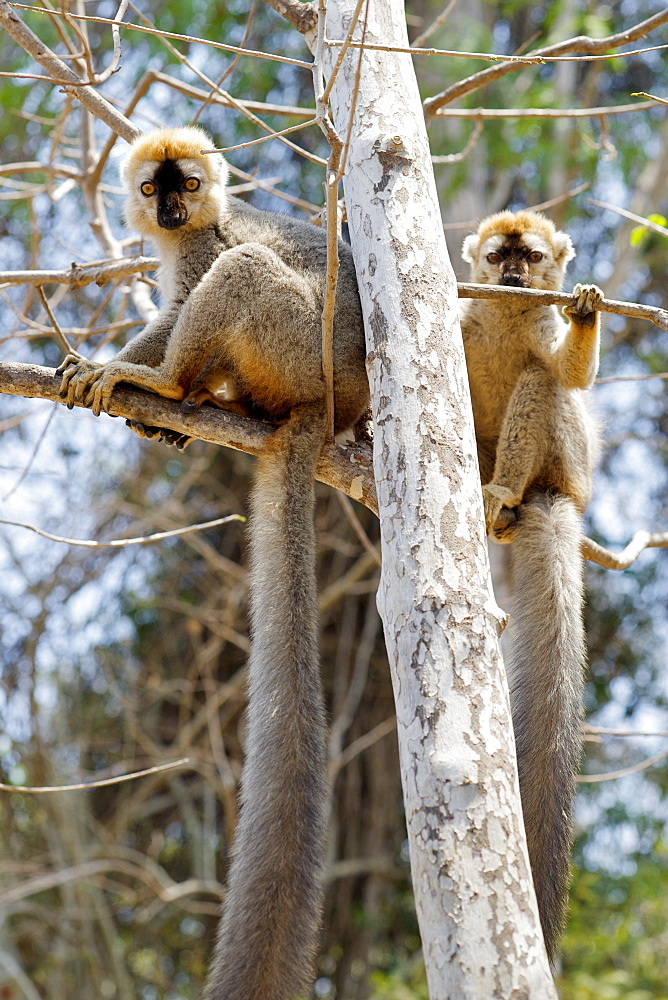 Male red-fronted brown lemurs (Eulemur fulvus rufus) in the Kirindy Forest reserve in southwest Madagascar, Madagascar, Africa