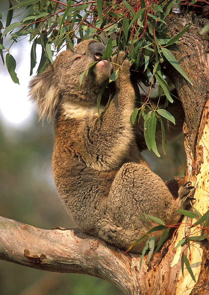 Koala feeding in a gum tree at the Koala Conservation Centre on Phillip Island, near Melbourne, Victoria, Australia, Pacific