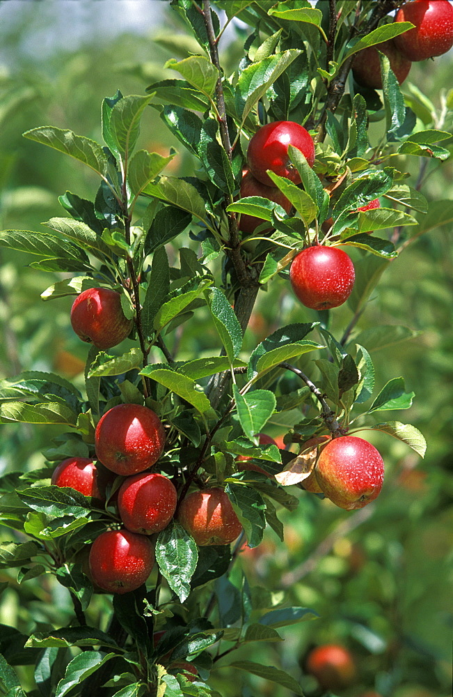 Apples growing in the Huon River orchard region  south west of Hobart, Huonville, Tasmania, Australia, Pacific