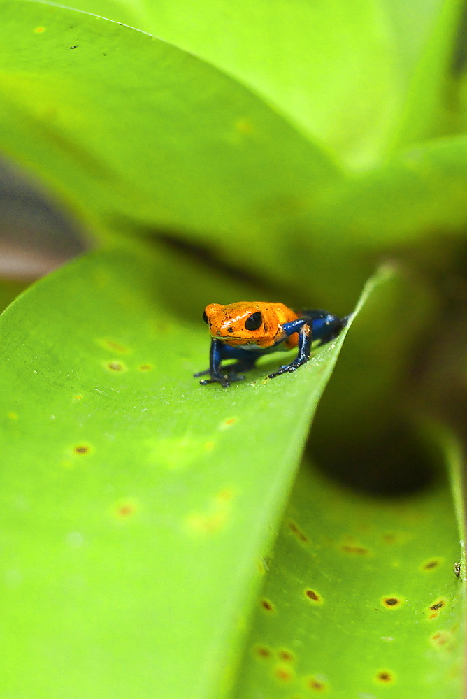 Poison Dart Frog, named due it excreting a poison that paralyses - used on native arrows; Arenal, Alajuela Province, Costa Rica