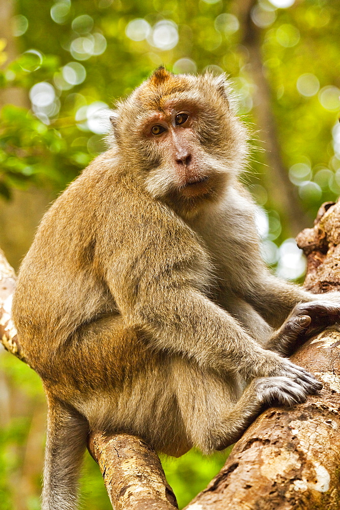 Crab-eating (long-tailed) macaque monkey, known for stealing from tourists, National Park, Pangandaran, Java, Indonesia, Southeast Asia, Asia