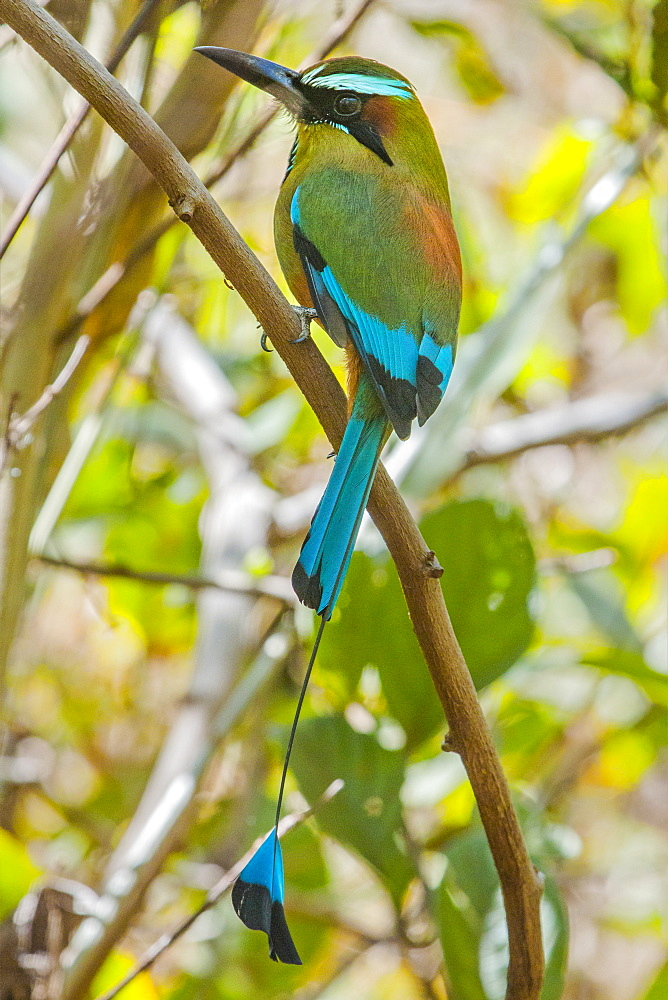 Guardabarranco (turquoise-browed motmot), national bird of Nicaragua, on the slopes of Telica volcano, Leon, Nicaragua, Central America