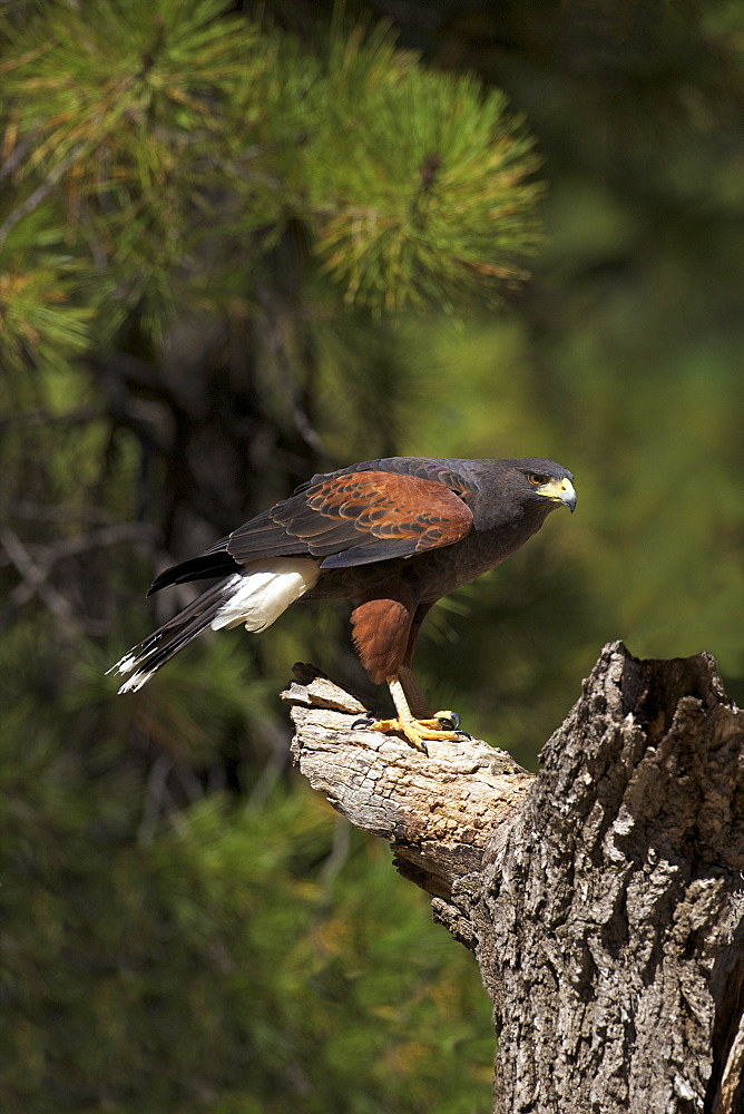 Harris hawk (Parabuteo unicinctus), Bearizona Wildlife Park, Williams, Arizona, United States of America, North America
