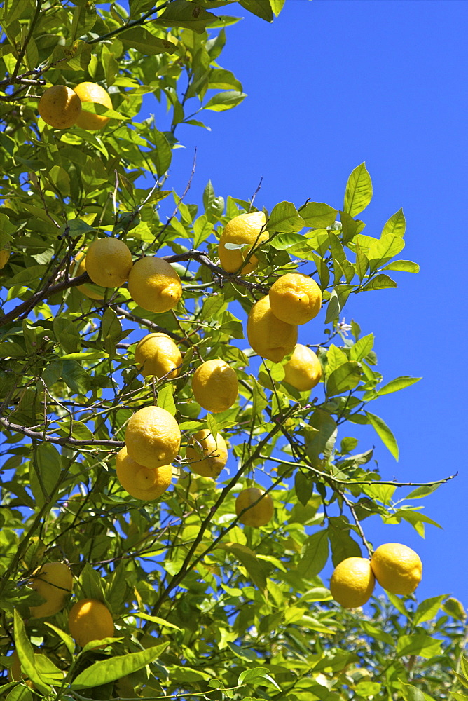 Lemons growing on tree in grove, Sorrento, Campania, Italy, Europe