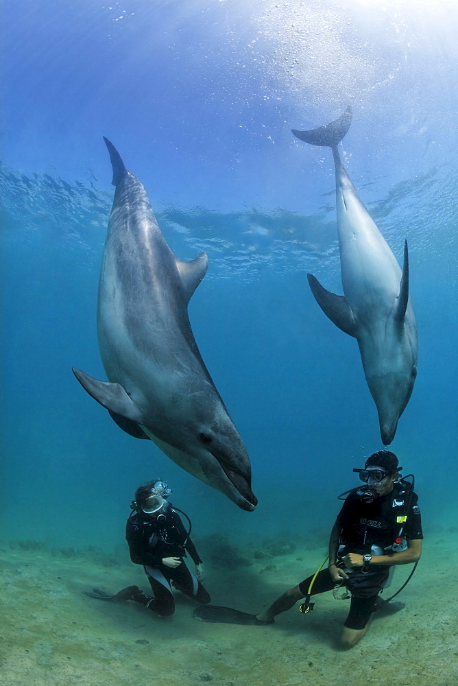 Two scuba divers facing Bottlenose Dolphins (Tursiops truncatus), Subic Bay, Luzon, Philippines, South China Sea, Pacific