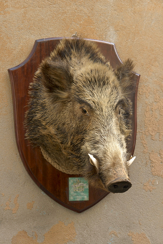 Trophy of a wild boar outside a delicatessen shop, Orvieto, province of Terni, Umbria, Italy, Europe