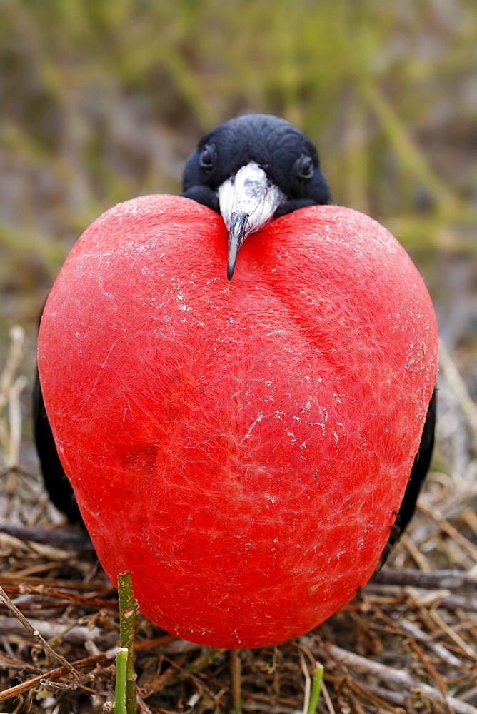 Magnificent fregate bird (Fregata magnificens) sitting on brushwood and mating with bloated throat pouch, Genovesa Island, Tower Island, Galápagos Archipelago, Ecuador, South America - 832-10167