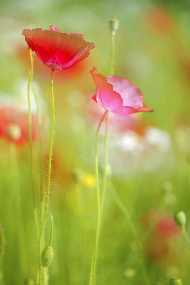 Long-headed Poppies (Papaver dubium) on a summer meadow