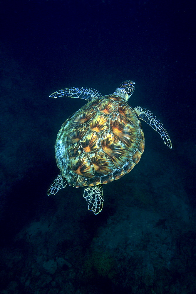Green Sea Turtle (Chelonia mydas) swimming over a coral reef, Musandam, Oman, Middle East, Indian Ocean