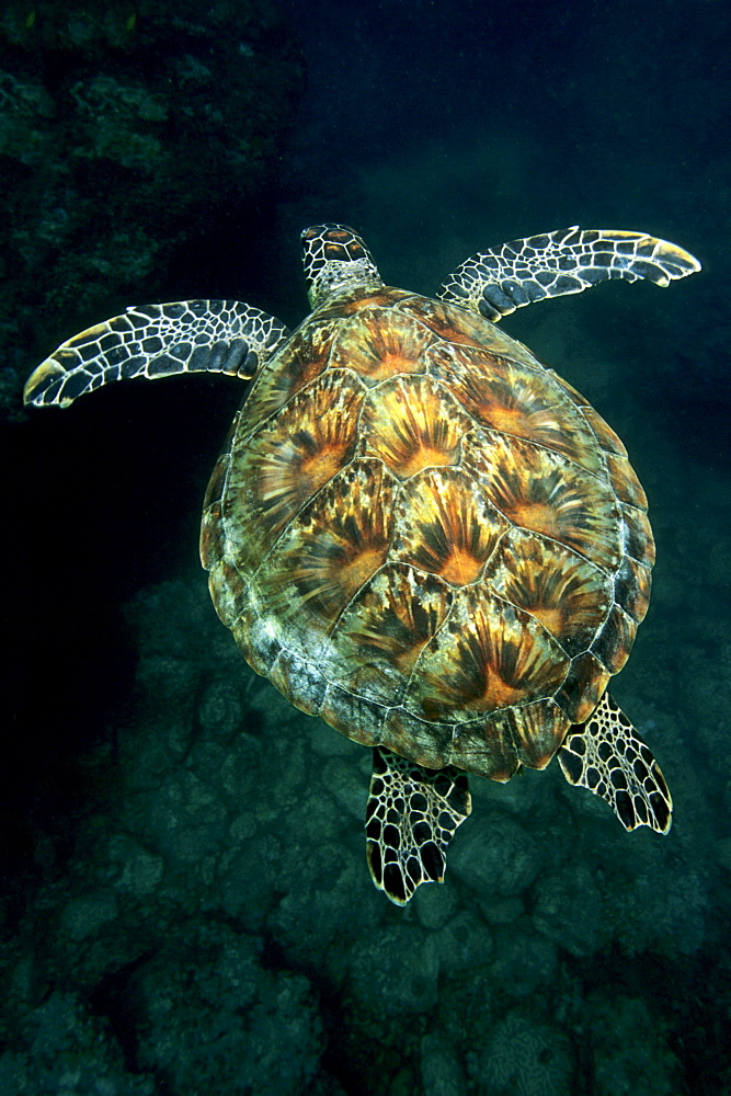 Green Sea Turtle (Chelonia mydas) swimming above a coral reef, Musandam, Oman, Middle East, Indian Ocean