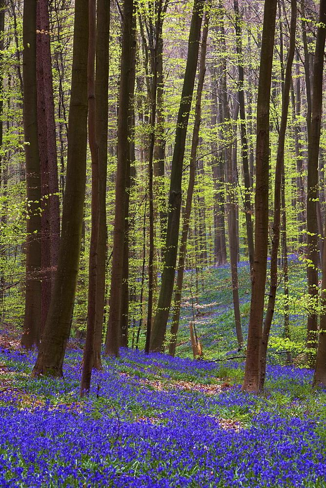 Forest with bluebells, Hallerbos, Hall, Flanders, Belgium, Europe