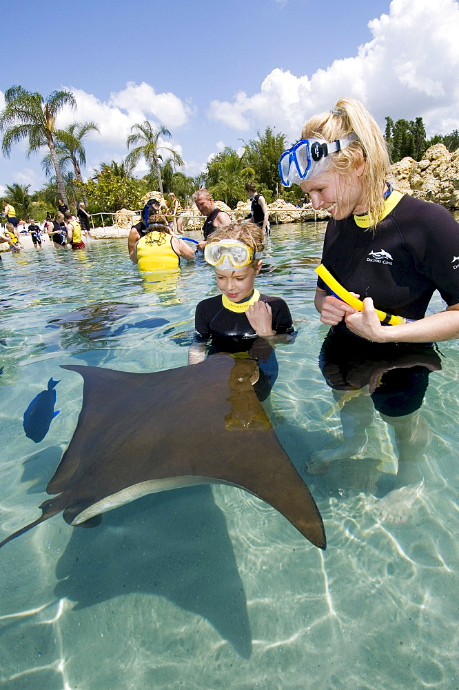 Eagle Ray (Myliobatidae) being fed, Discovery Cove, Orlando, Florida, USA, North America