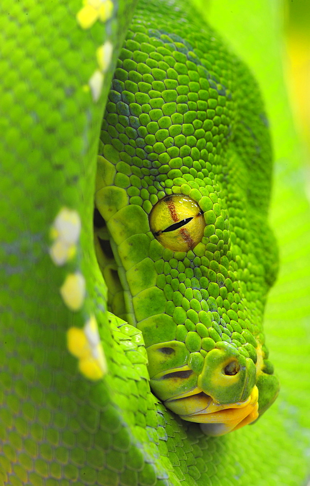 Python (Chondropython viridis) New Guinea
