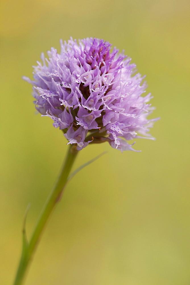 Kugelorchis orchid (Traunsteinera globosa), Rax, Lower Austria, Austria, Europe