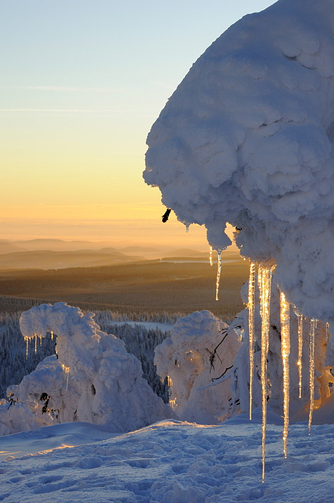 Icicles on pines at dusk, Mt. Brocken, Harz, Saxony-Anhalt, Germany, Europe