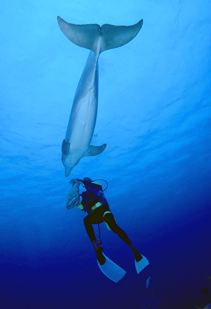 Bottlenose Dolphin (Tursiops truncatus) and scuba diver, Bahamas, Central America