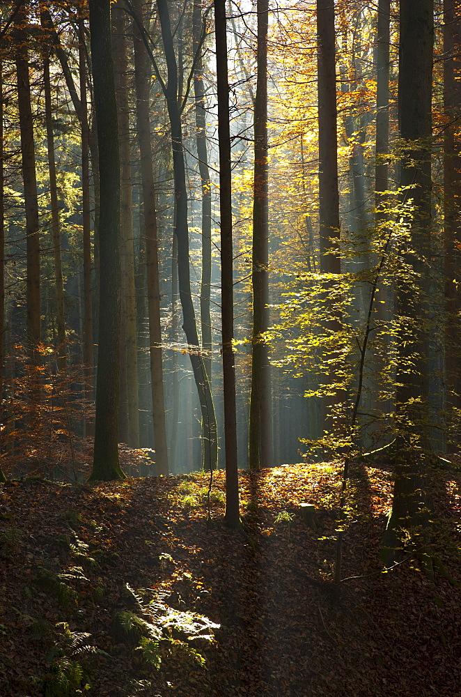 Sun rays in an autumn forest, Feldbach, Styria, Austria, Europe