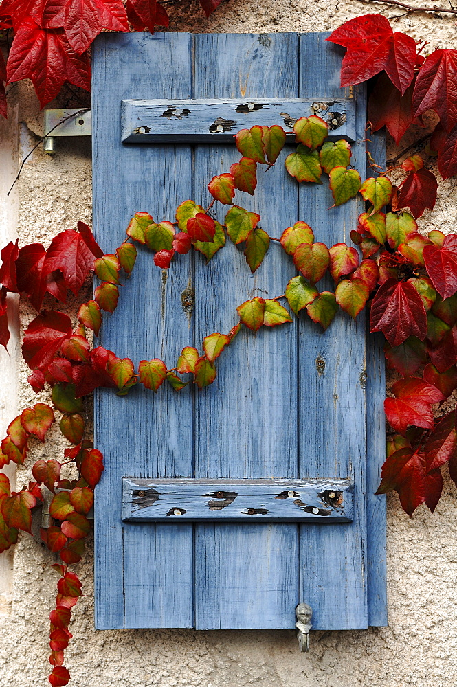 Old window shutter painted in blue and covered with colorful tendrils of vine, Maebenberg, Middle Franconia, Bavaria, Germany, Europe