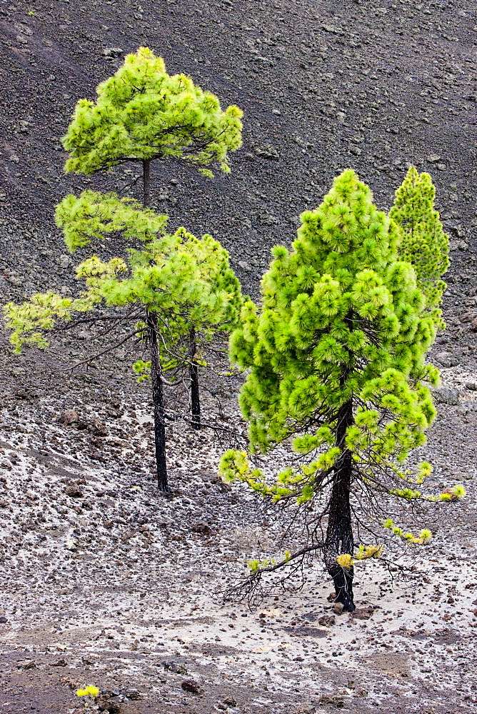 Young pine trees growing on volcanic rock in the Teide National Park, UNESCO World Heritage Site, Tenerife, Canary Islands, Spain, Europe