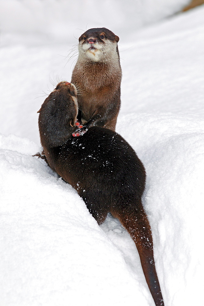 Asian Small-clawed Otter, Oriental Small-clawed Otter, Oriental Short-clawed Otters (Aonyx cinerea) (Amblonyx cinerea) two in winter in snow