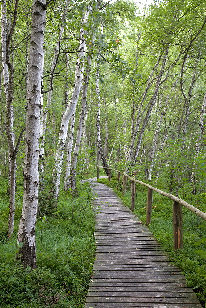 Wooden bridge in a birch forest, Mueritz National Park, Mecklenburg-Western Pomerania, Germany, Europe