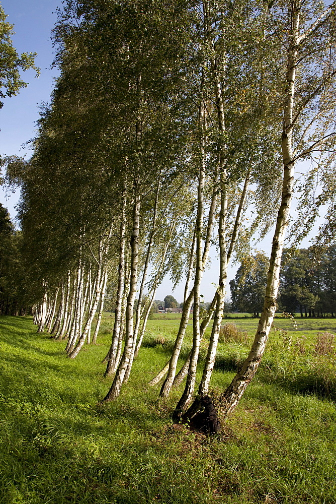 Avenue of birch trees, Spreewald Biosphere Reserve, Brandenburg, Germany, Europe