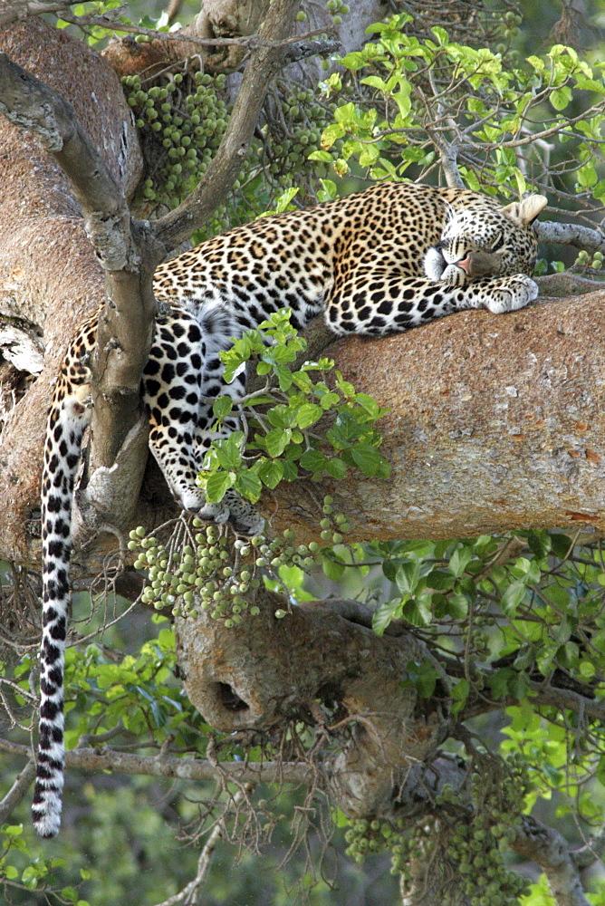 leopard (panthera pardus) sleeping in a tree, Masai Mara, Kenya, Afrika
