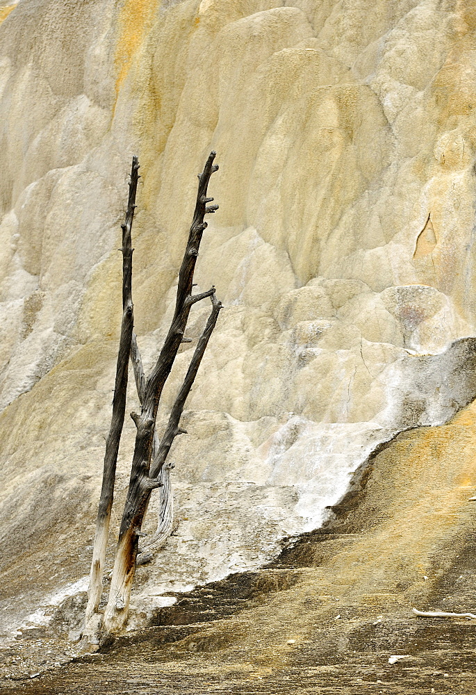 Orange Mound Road, Upper Terraces, limestone sinter terraces, geysers, hot springs, colorful thermophilic bacteria, microorganisms, dead trees, Mammoth Hot Springs Terraces in Yellowstone National Park, Wyoming, America