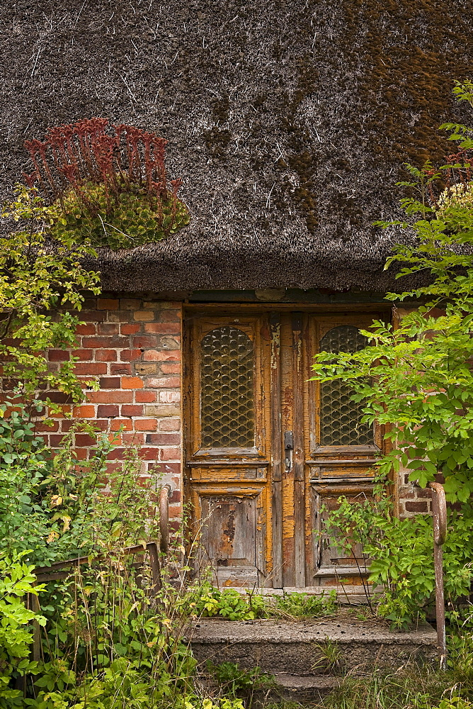 Old dilapidated house with vegetation growing on the roof, Hagen, Ruegen, Mecklenburg-Western Pomerania, Germany, Europe