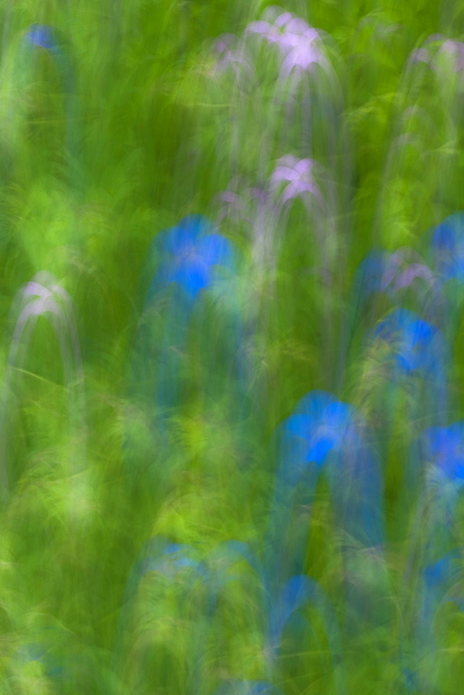 Geranium meadow, blurred