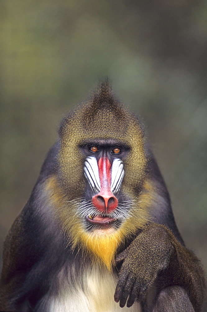 Mandrill, Male, Papio sphinx,