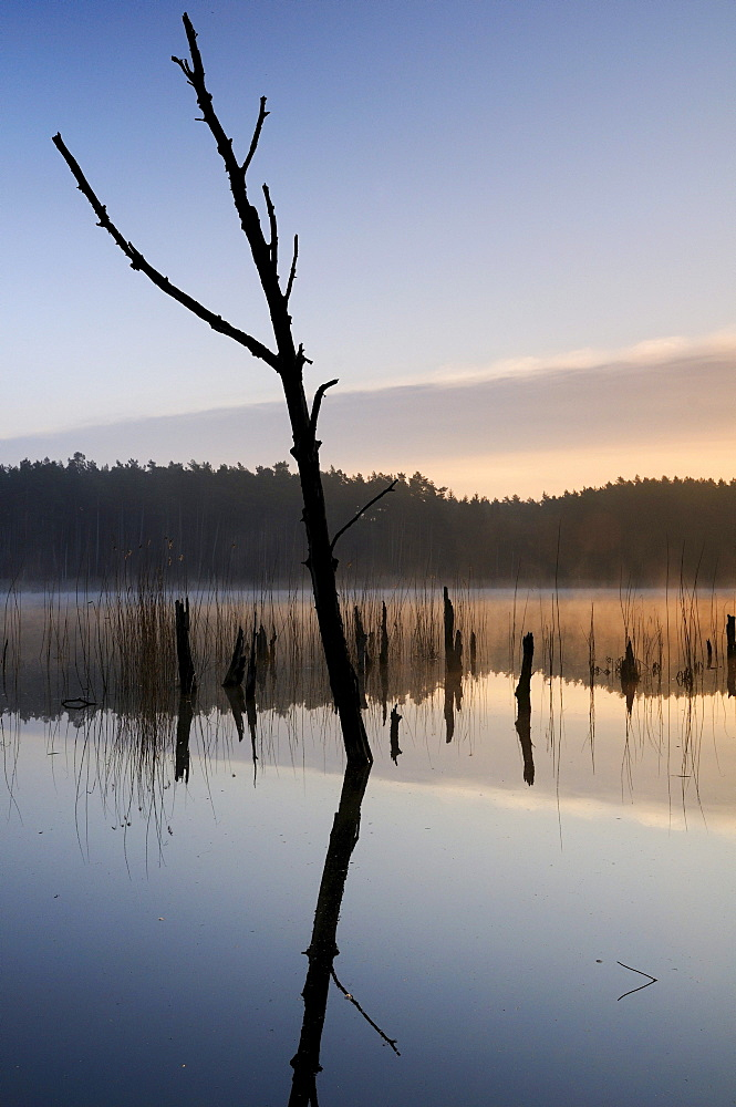 Sunrise on a lake with dead trees in the Mueritz National Park, Mecklenburg-Western Pomerania, Germany, Europe