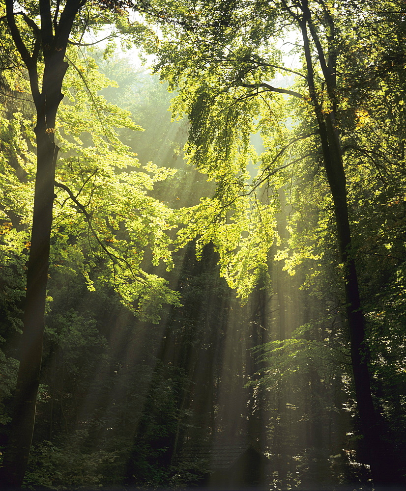 Sun rays in a forest near Denkingen, Zollernalb district, Swabian Alps, Baden-Wuerttemberg, Germany, Europe