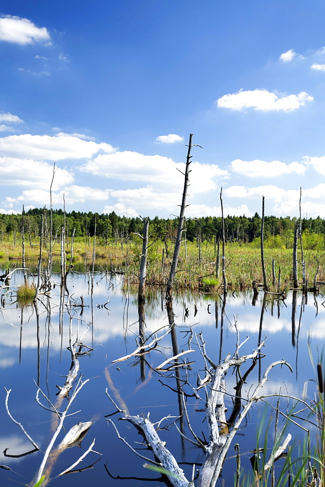 Dead trees and clouds reflected in the water of the Schwenninger Moos bog, Baden-Wuerttemberg, Germany, Europe