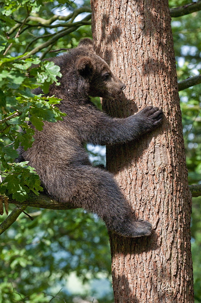 Young Brown Bear (Ursus arctos) sitting in tree, Wildpark Knuell wildlife park, Homberg, Hesse, Germany, Europe