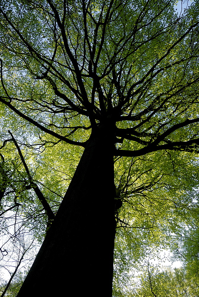 Old European Beech (Fagus sylvatica) in spring, worm's-eye view