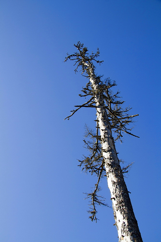 Dead spruce (Picea abies), Mt. Feldberg, Black Forest, Black Forest, Landkreis Hochschwarzwald county, Baden-Wuerttemberg, Germany, Europe
