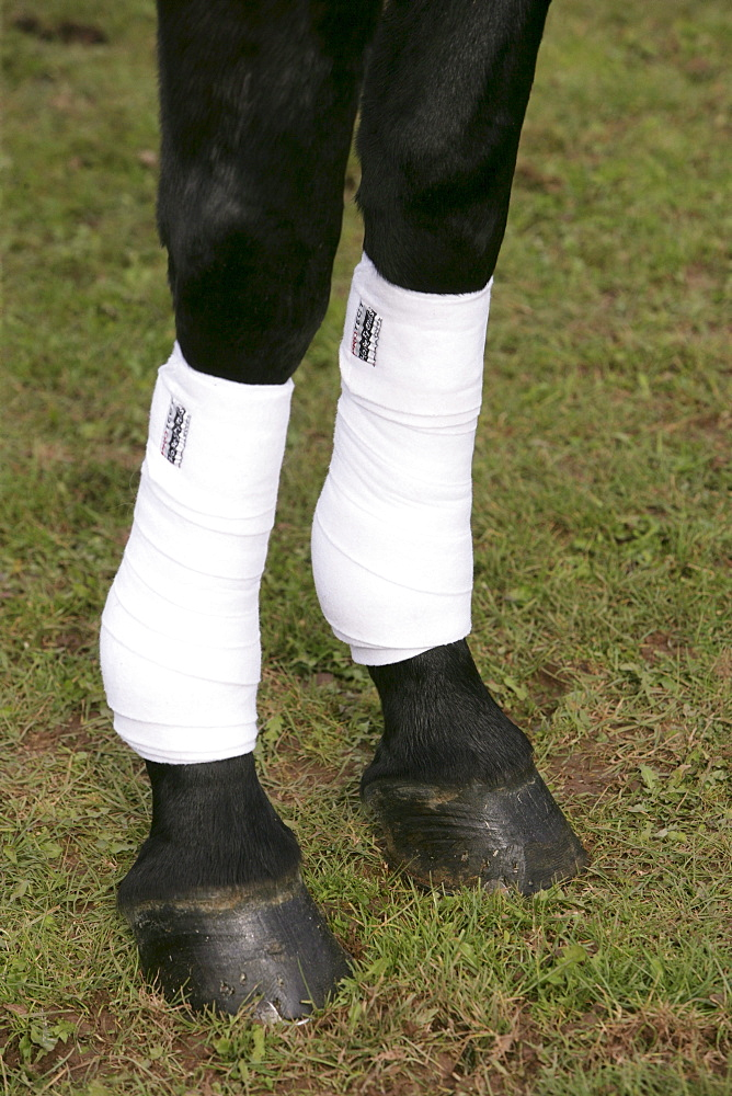 Dressage horse with bandages on its legs