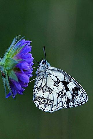 Marbled White Butterfly (Melanargia galathea) resting on a flower