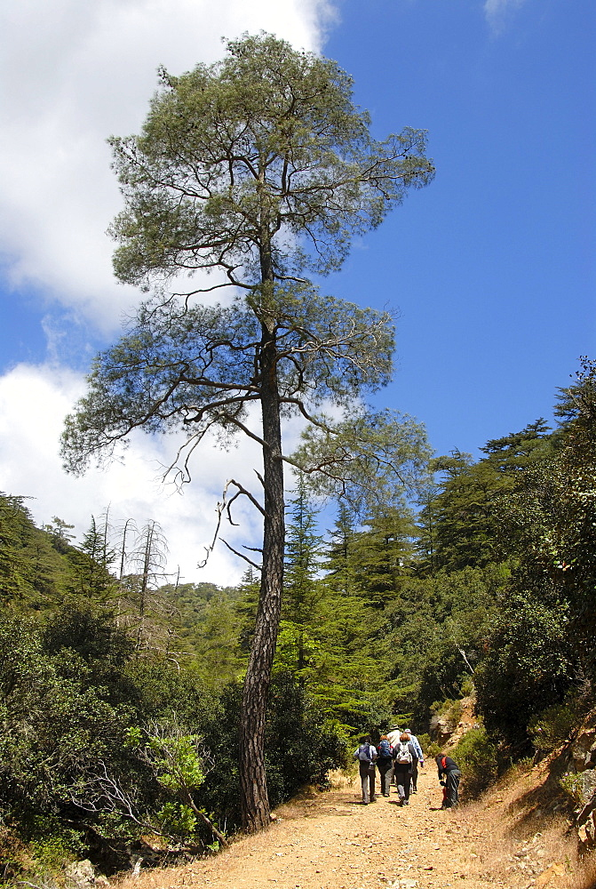 Group of hikers hiking below a tall Aleppo Pine (Pinus halepensis), Tripylos, Troodos Mountains, Southern Cyprus, Republic of Cyprus, Mediterranean Sea, Europe